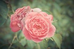 Rosa damascena tappningblomma Fotografering för Bildbyråer