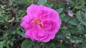 Rosa Rosa damascenablomma i naturtr?dg?rd arkivfilmer