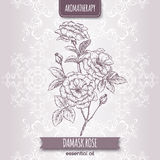 Rosa damascene aka Damask rose sketch Royalty Free Stock Photo