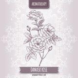 Rosa damascene aka Damask rose sketch Royalty Free Stock Photo