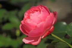 Rosa Dame Lizenzfreies Stockbild