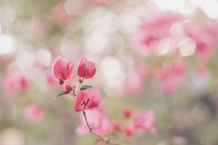 Rosa Dame in meinem Garten Lizenzfreie Stockfotografie