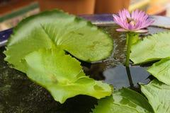 rosa damm för lotusblomma Fotografering för Bildbyråer
