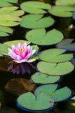 rosa dammvatten för lilja Arkivfoton