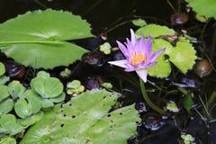 rosa dammvatten för liljar Royaltyfri Bild