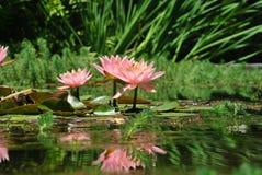 rosa dammvatten för liljar Royaltyfri Foto