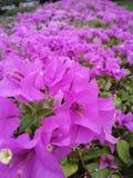 Rosa das flores Fotografia de Stock