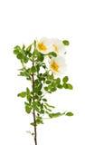Rosa das flores selvagens isolada foto de stock
