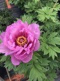 Rosa das peônias na primavera - fotos de stock
