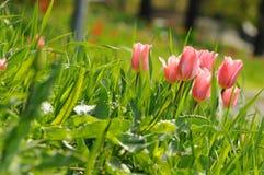 Rosa das tulipas no canteiro de flores Grandes botões das tulipas Fotos de Stock
