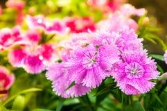 Rosa de China, flor chinensis do cravo-da-índia L Flor Fotos de Stock Royalty Free