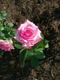 Rosa de cora imagens de stock royalty free