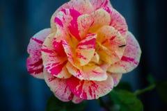 Rosa de duas cores Fotografia de Stock Royalty Free