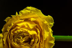 A Rosa de encontro Foto de Stock Royalty Free