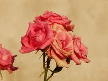 Rosa de florescência Imagem de Stock