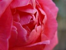 Rosa de florescência fotos de stock royalty free