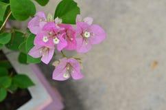 Rosa de florescência da buganvília Fotografia de Stock