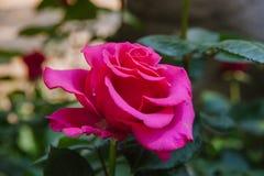 Rosa de florescência do rosa Fotos de Stock Royalty Free