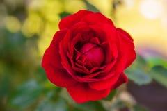 Rosa de florescência do vermelho Fotos de Stock