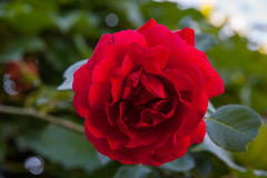 Rosa de florescência do vermelho Foto de Stock Royalty Free