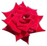 Rosa de florescência do vermelho isolada Fotografia de Stock