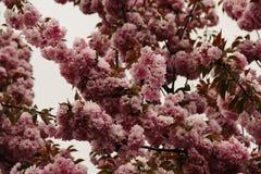 Rosa de florescência de sakura na mola Fotos de Stock Royalty Free