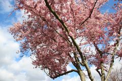 Rosa de florescência Sakura With Sunny da estação foto de stock