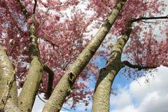 Rosa de floresc?ncia de floresc?ncia Sakura And Sunny fotos de stock royalty free