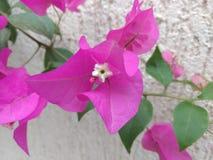 Rosa de la flor Fotos de archivo
