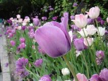 Rosa de la flor Imagen de archivo
