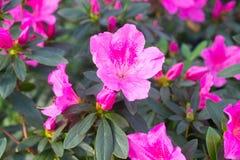 Rosa de la flor de la azalea Fotografía de archivo libre de regalías