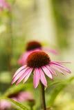 Rosa de la flor del Echinacea en jardín del verano Fotos de archivo libres de regalías