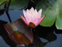 Rosa de la flor de Lotus o del lirio de agua con las hojas verdes Maravillosamente floreciendo en la piscina del balneario para a Fotografía de archivo