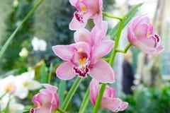 Rosa de la flor de la orquídea Imagenes de archivo