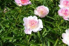 rosa de la flor de la peonía Fotografía de archivo libre de regalías