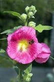 Rosa de la malva de la flor, o rosa de la barra-rosa Fotografía de archivo