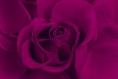 Rosa de la púrpura Imagen de archivo