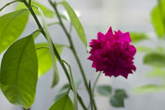 Rosa de la púrpura, flor casera, planta hermosa Fotografía de archivo