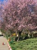Rosa de la primavera Foto de archivo libre de regalías