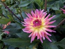 Rosa de las dalias de la flor Imágenes de archivo libres de regalías