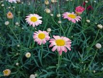 Rosa de las flores fotografía de archivo