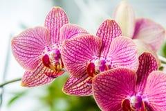 Rosa de las orquídeas Foto de archivo