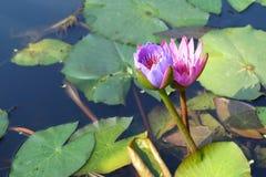 Rosa de Lotus e rosa roxo Fotos de Stock Royalty Free