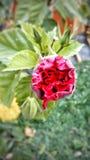 Rosa de meu coração Fotos de Stock Royalty Free