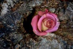 Rosa de morte no coto de árvore Imagem de Stock Royalty Free