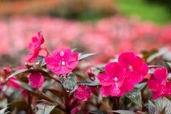 Rosa de Nova Guiné Impatiens Fotografia de Stock Royalty Free