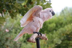 Rosa de papegaai begint te vliegen Stock Foto