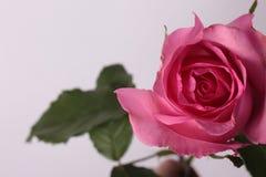 Rosa de Rosa no fundo Fotografia de Stock Royalty Free