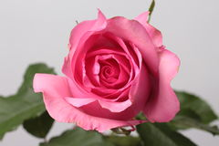 Rosa de Rosa no fundo Foto de Stock