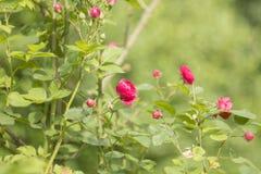 Rosa de rosas de arbusto flores rosadas en jardín Fotos de archivo